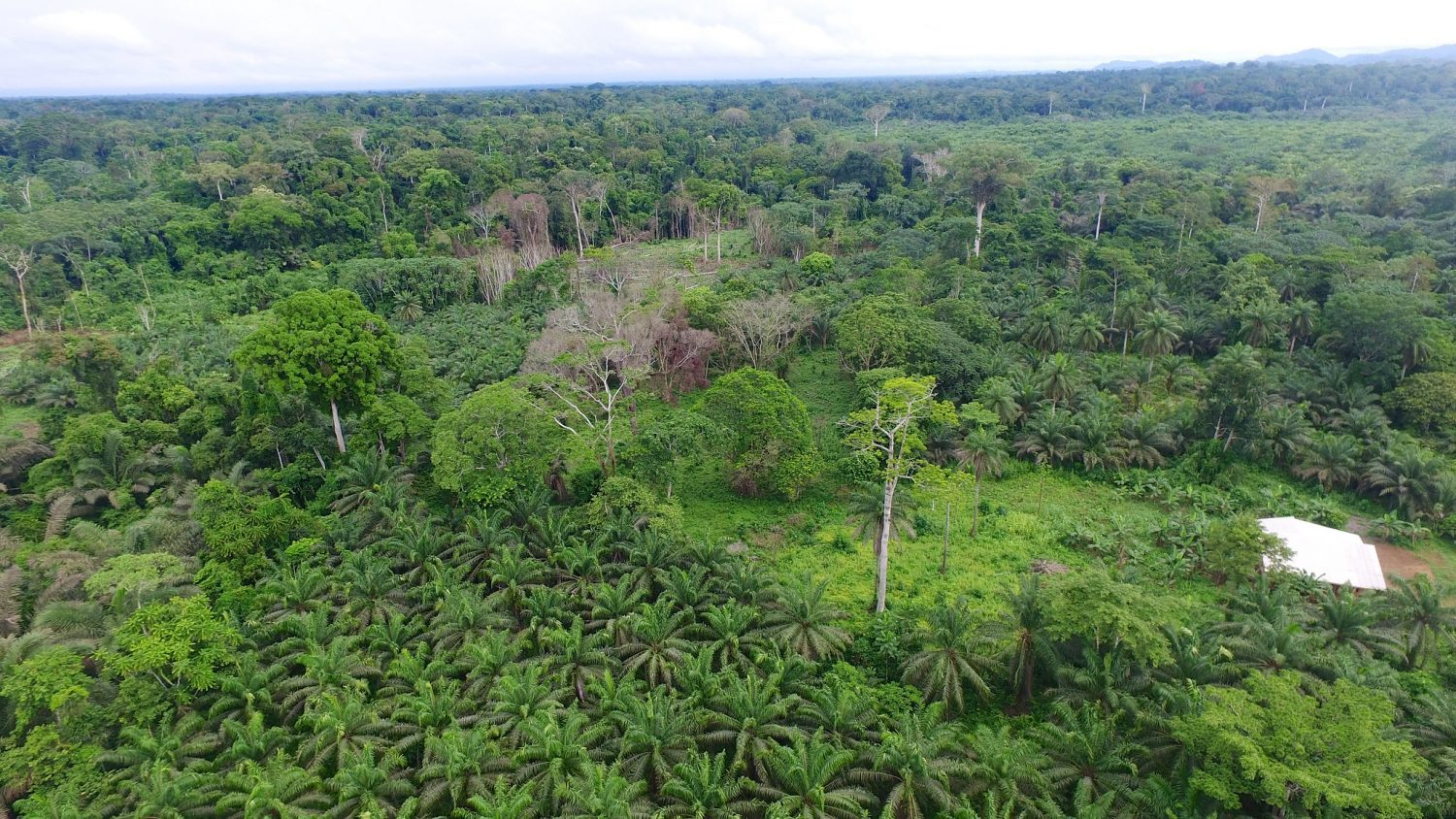 Oil palm industry in Cameroon