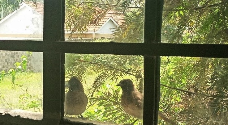The Common Bulbul by My Window