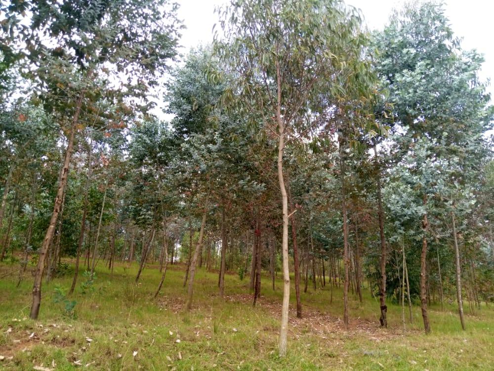 Trees planted by CYNESA Rwanda in Kabuye Parish_ Archdiocese of Kigali